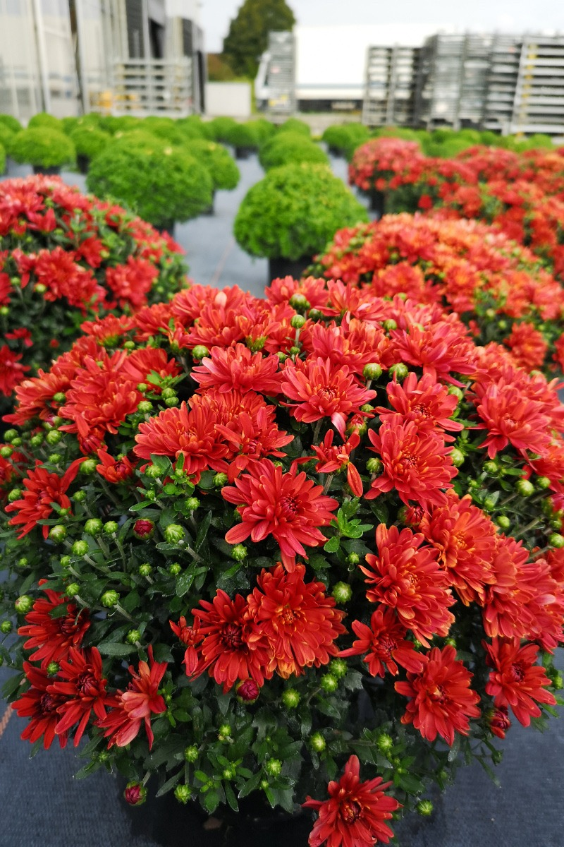 Chrysanthemenbusch